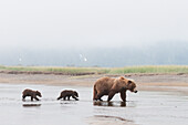 'A Brown Grizzly Bear (Ursus Arctos Horribilis) Crossing A River With Her Two Cubs; Alaska, United States Of America'