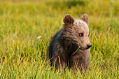 'A Grizzly Bear Cub (Ursus Arctos Horribilis) In A Meadow; Alaska, United States Of America'