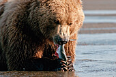 'A Grizzly Bear (Ursus Arctos Horribilis) With A Fish In It's Claws; Alaska, United States Of America'