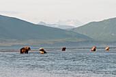 'Five Grizzly Bears (Ursus Arctos Horribilis) Fishing; Alaska, United States Of America'
