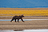 'A Brown Grizzly Bear Walking By A Stream; Tenakee Springs, Alaska, United States Of America'