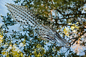'Alligator Resting In Wetland With Reflection Of Tree And Sky; Florida, Usa'