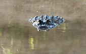 'Alligator On Surface Of Water; Florida, Usa'