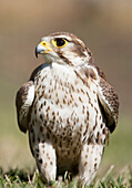 'Prairie Falcon Perches On The Ground Briefly After A Hunt; Montana, United States Of America'