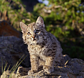 'Bobcat (Felis Rufus) Kitten Sits And Looks Up Alertly; Montana, United States Of America'