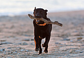 'Black Labrador Retriever Running With Stick On Beach; Tarifa, Cadiz, Spain'