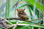 'A Wild Tarsier (Tarsius) Sits On A Branch Of A Tree At The Tarsier Research And Development Center; Island Of Bohol, Philippines'