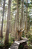'A Wooden Boardwalk Leading Through The Forest; Cape Flattery Washington United States Of America'