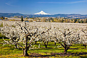 'Apple Blossom Trees And Mount Hood In Columbia River Gorge In The Pacific Northwest; Oregon, USA'