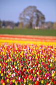 'Sunrise Over Colorful Tulip Field At Wooden Shoe Tulip Farm; Woodburn, Oregon'