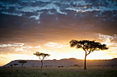 'Trees And Animals Across An African Landscape At Sunset; Kenya'