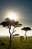 'An Elephant Walks Among The Trees; Kenya'