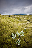 'A White Wildflower Growing On A Rugged Landscape; Iceland'