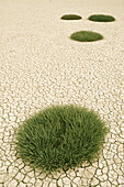 'Clumps Of Grass Growing Through Cracked Earth; New Zealand'