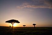 'Trees On The Savannah With The Sun Glowing At Sunset; Masai Mara, Kenya'