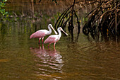 Roseate Spoonbills, Ding Darling National Wildlife Refuge, Sanibel Island, Florida, Usa