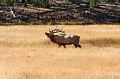 Bull Elk, Yellowstone National Park, Near Madison River, Montana, Usa