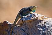 A Male Desert Spiny Lizard (Sceloporus Magister Uniformis)