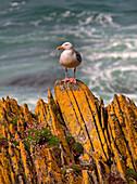 A Herring Gull, Colonsay, Scotland