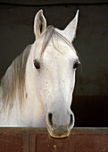 Grey Horse In A Stable