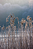 Frozen Reeds At The Shore Of A Lake, Cumbria, England