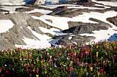 Wildflowers Along A Snowy Mountain, Paradise Park, Mount Rainier National Park, Washington, United States Of America