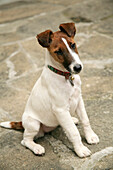 'Smooth Fox Terrier; Dog Sitting And Watching'
