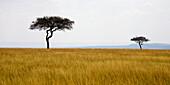 'Masai Mara, Kenya, Africa; Acacia Trees'