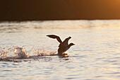 Seagull Landing In Water, Kenora, Ontario, Canada