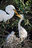 'Great Egret (Ardea Alba) Adult Feeding Young In Nest; Florida, Usa'