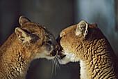 'Mountain Lion (Felis Concolor) Cub Nuzzles Mother's Face; Montana, Usa'