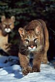 'Mountain lion cub (Felis concolor) walking on snow toward camera, mother in background; Montana, Usa'