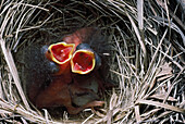 'Dark-Eyed Junco Nestlings With Open Mouths For Feeding; Montana, Usa'