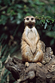 Meerkat Sitting On A Stump, Africa