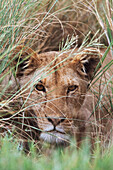Lioness Peering Through Grass, Africa