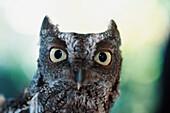 'Eastern Screech Owl Portrait Showing Large Eyes; Florida, Usa'