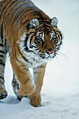 'Siberian Tiger (Panthera Tigris Altaica) In The Snow; Captive, Native Toamur-Ussuri Region Of Russia'