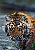 Portrait Of Wet Siberian Tiger