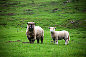 'A Sheep And A Lamb; Bolton, Yorkshire Dales, England'