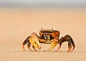 'Ghost Crab On The Beach At Lamu Island; Lamu, Kenya'