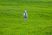 'A Grey Horse In A Field; Iron Hill, Quebec, Canada'