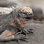 'Marine Iguana (Amblyrhynchus Cristatus); Galapagos, Equador'
