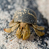 'A Snail Coming Out A It's Shell On The Sand; Galapagos, Equador'