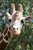 'Close-Up Of A Giraffe's (Giraffa Camelopardalis) Head And Face Looking At The Camera; Calgary, Alberta, Canada'
