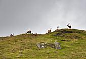 'Deers Grazing On The Top Of A Hill; Ardanmurchan Argyl, Scotland'