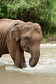 'An Asian Elephant (Elephas Maximus) Standing In Shallow Water; Chiang Mai, Thailand'