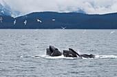 'Humpback Whales (Megaptera Novaeangliae) Bubble Net Feeding; Juneau, Alaska, United States of America'