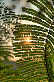 'Sun Shining Through Acacia Leaves; Chiang Mai, Thailand'