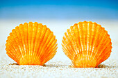 Two Orange Scallop Shells Standing Upright In Sand.
