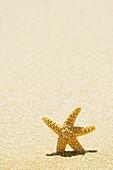 Orange Seastar Standing Upright In Sand.